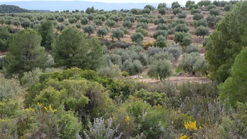 Campo de olivos arbequinas de la Espluga Calba