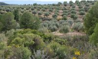 L'elaboració de l'Oli d'oliva verge extra Spelunca de l'Espluga Calba DO Garrigues