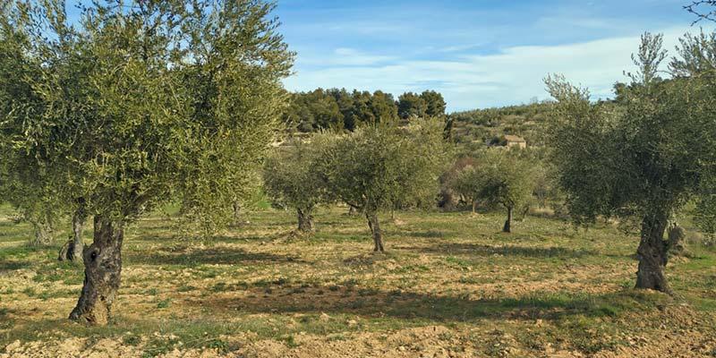 Camp d'oliveres arbquines de l'Espluga Calba.